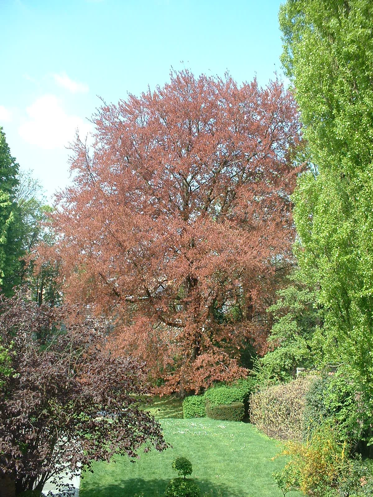 Hêtre pourpre – Forest, Avenue Kersbeek, 67 –  23 Avril 2004