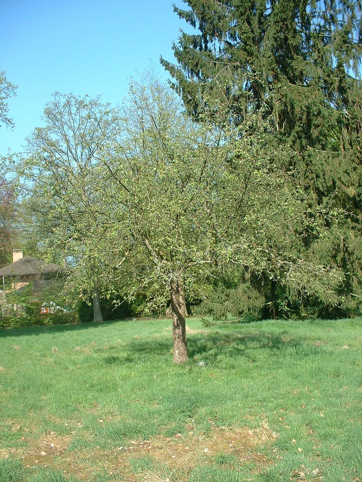 Pommier sauvage – Uccle, Avenue des Sorbiers, 6 –  23 Avril 2004