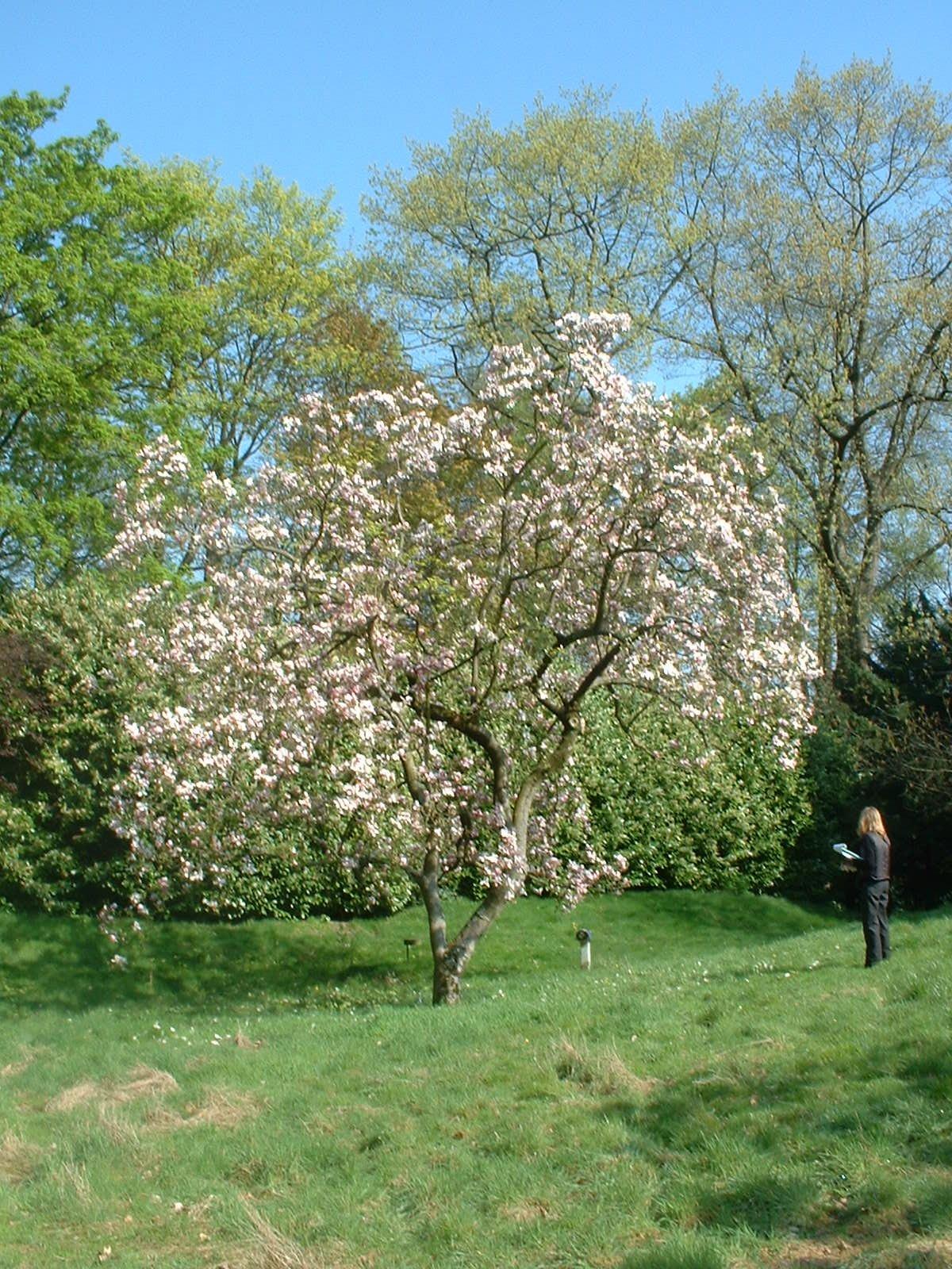 Magnolier de Soulange – Uccle, Avenue des Sorbiers, 6 –  23 Avril 2004