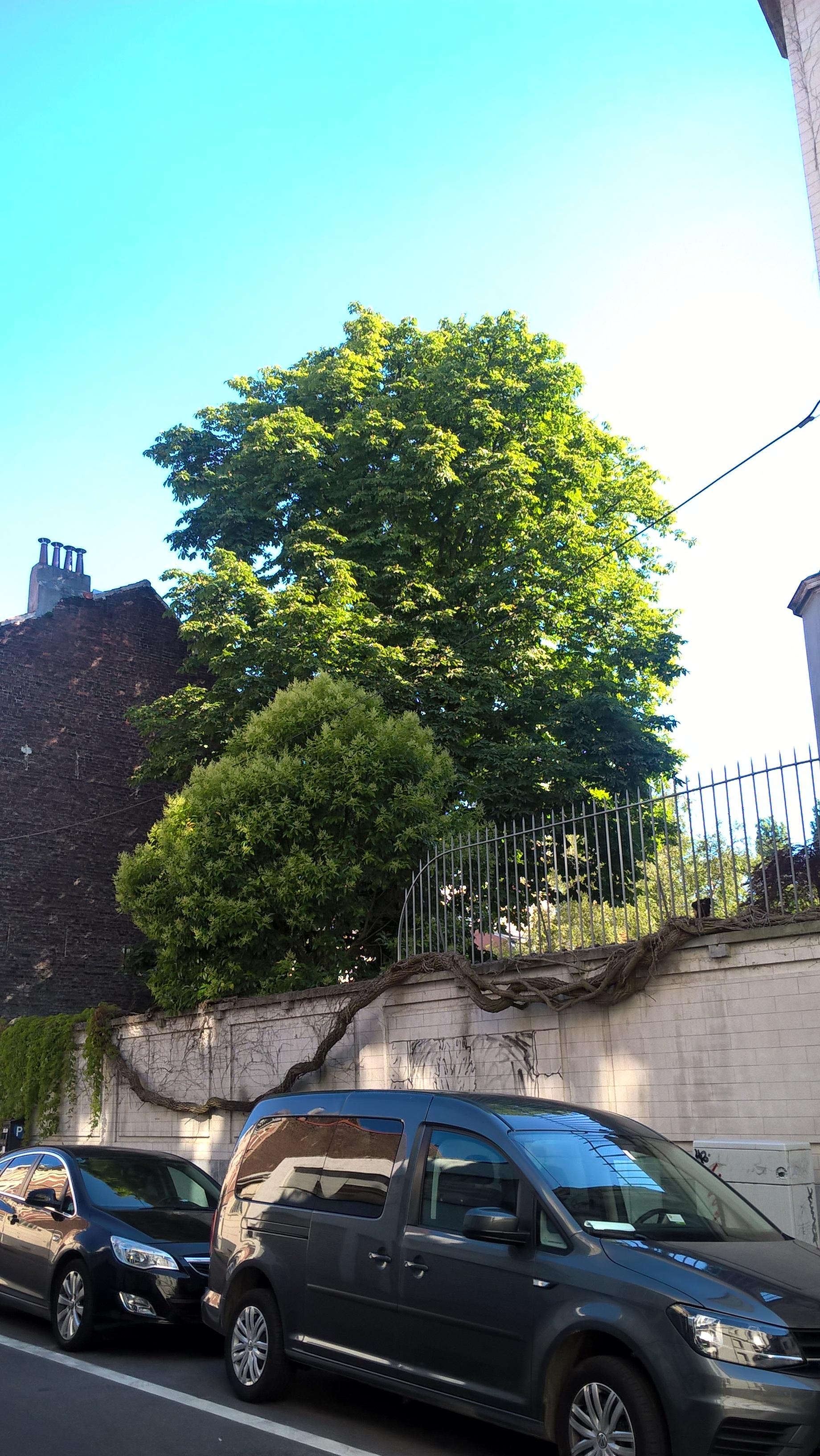 Marronnier commun – Ixelles, Rue de la Concorde, 55 –  20 Juillet 2016