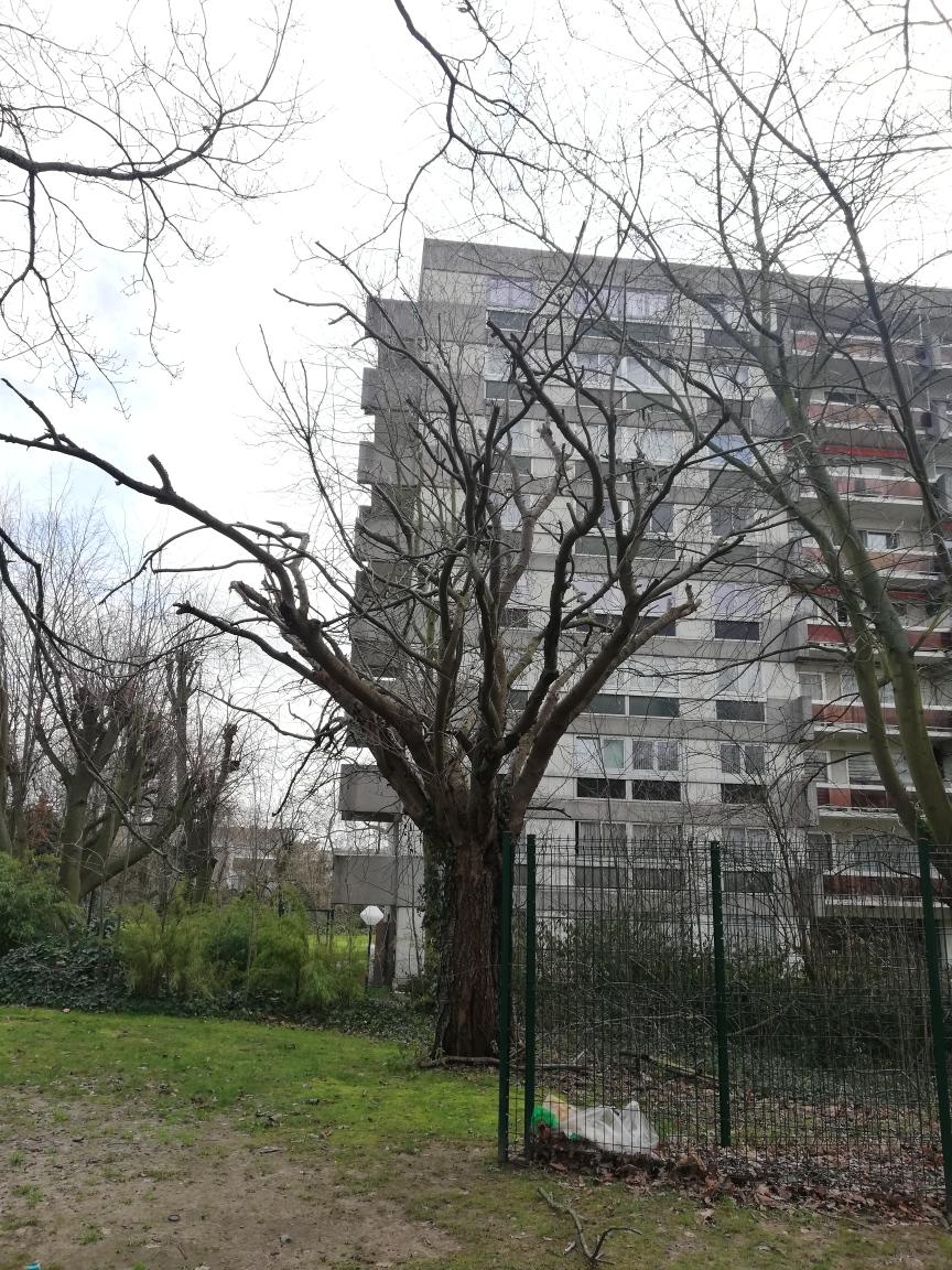 Cerisier du Japon – Molenbeek-Saint-Jean, Boulevard Louis Mettewie, 78-86 –  05 Février 2021