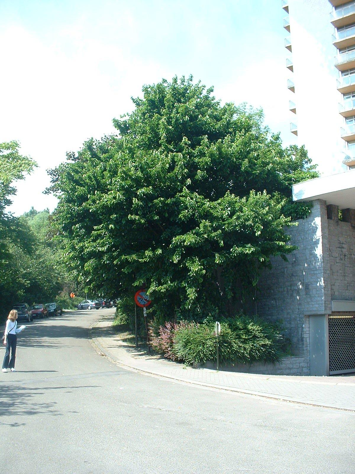 Noisetier de Byzance – Molenbeek-Saint-Jean, Avenue Maurice Van Hemelrijck –  07 Juin 2004