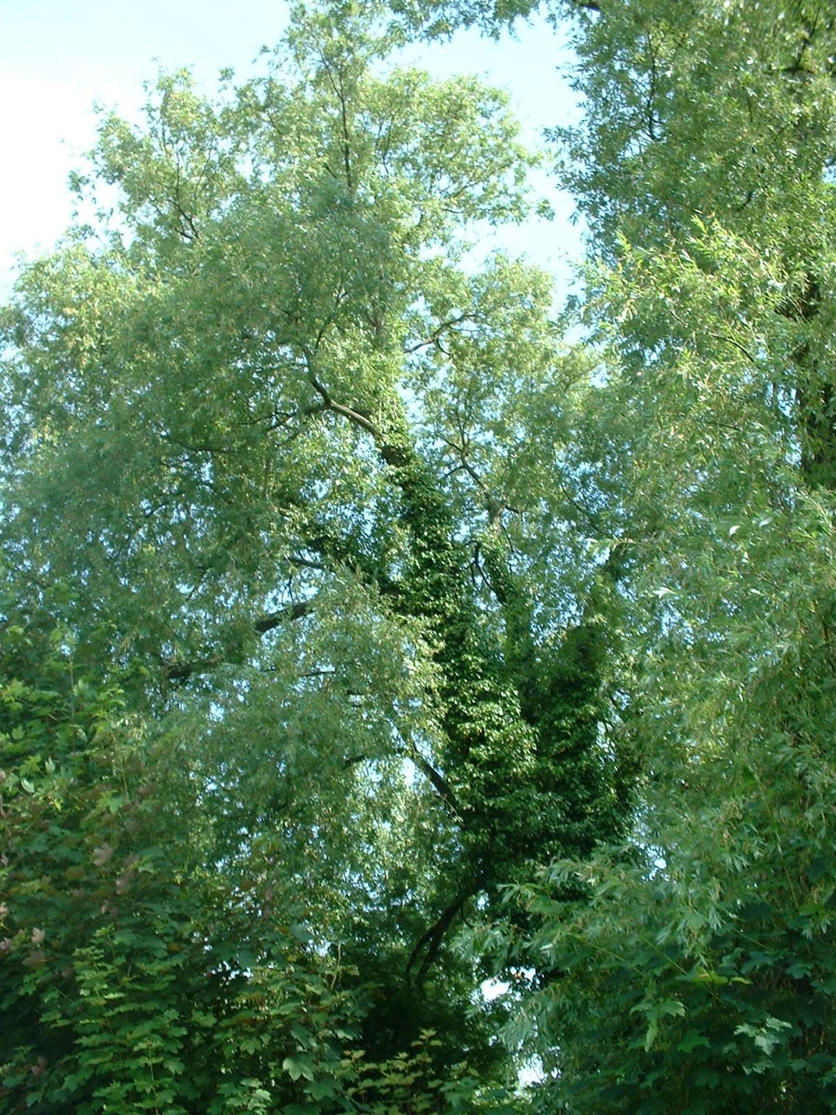Gewone wilg – Sint-Jans-Molenbeek, Scheutbospark, parc –  07 Juni 2004