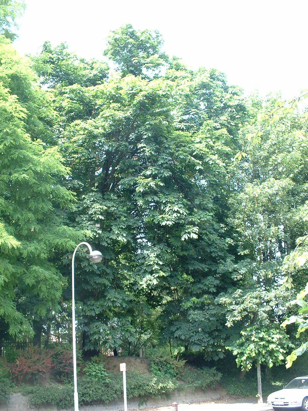 Marronnier commun – Molenbeek-Saint-Jean, Parc Hauwaert, parc –  09 Juin 2004