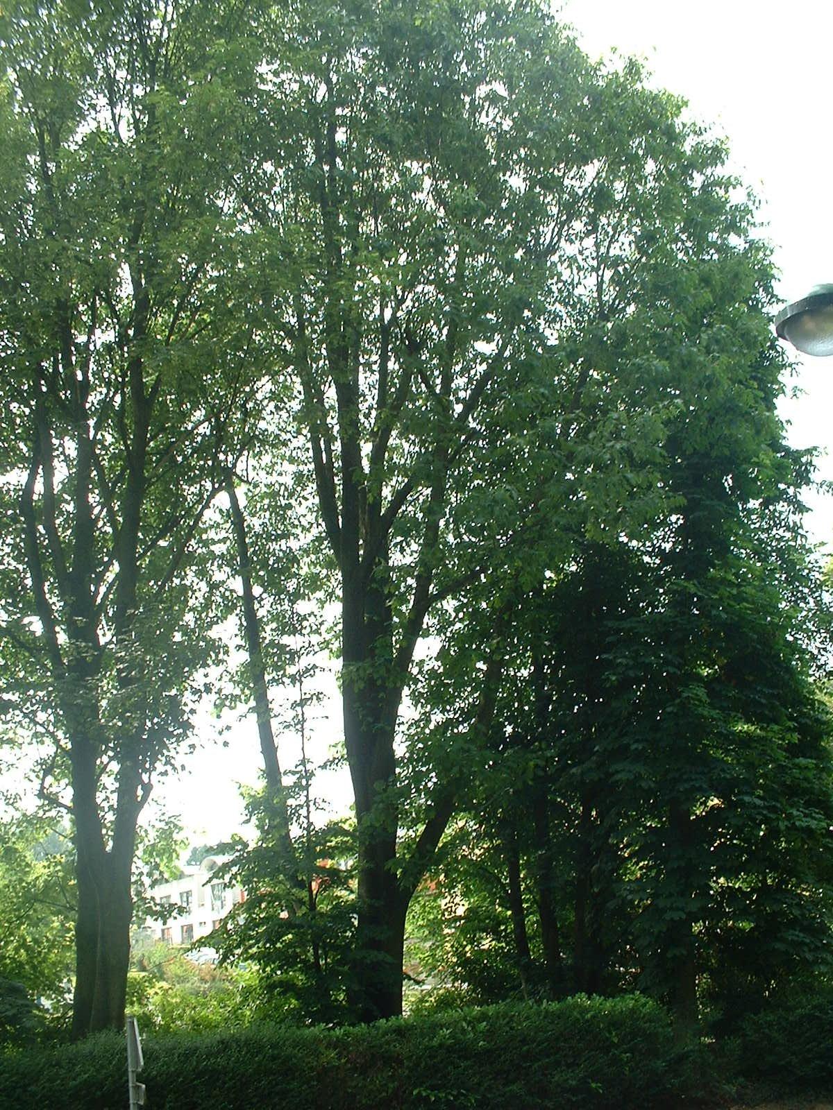 Chêne rouge d'Amérique – Molenbeek-Saint-Jean, Rue Ferdinand Elbers, 2 –  09 Juin 2004