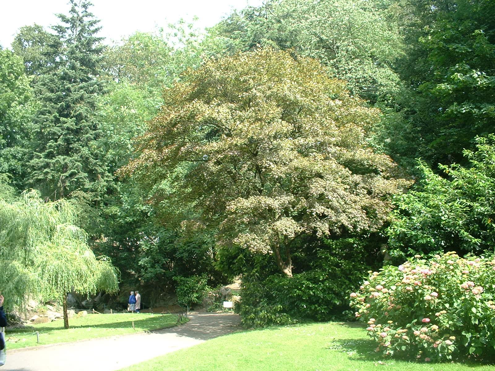 Erable palmé – Schaerbeek, Parc Josaphat, parc –  29 Juin 2004