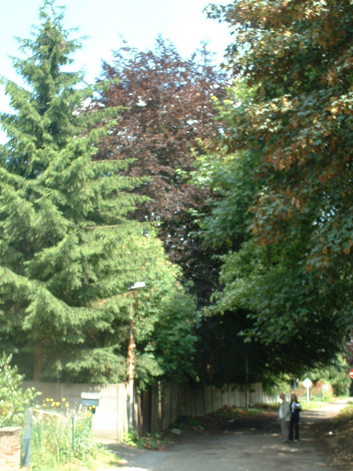 Hêtre pourpre – Molenbeek-Saint-Jean, Chaussée de Ninove, 1110 –  06 Juillet 2004