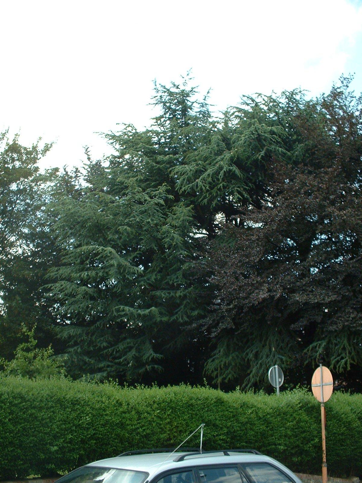 Cèdre bleu de l'Atlas – Molenbeek-Saint-Jean, Chaussée de Ninove, 1110 –  06 Juillet 2004
