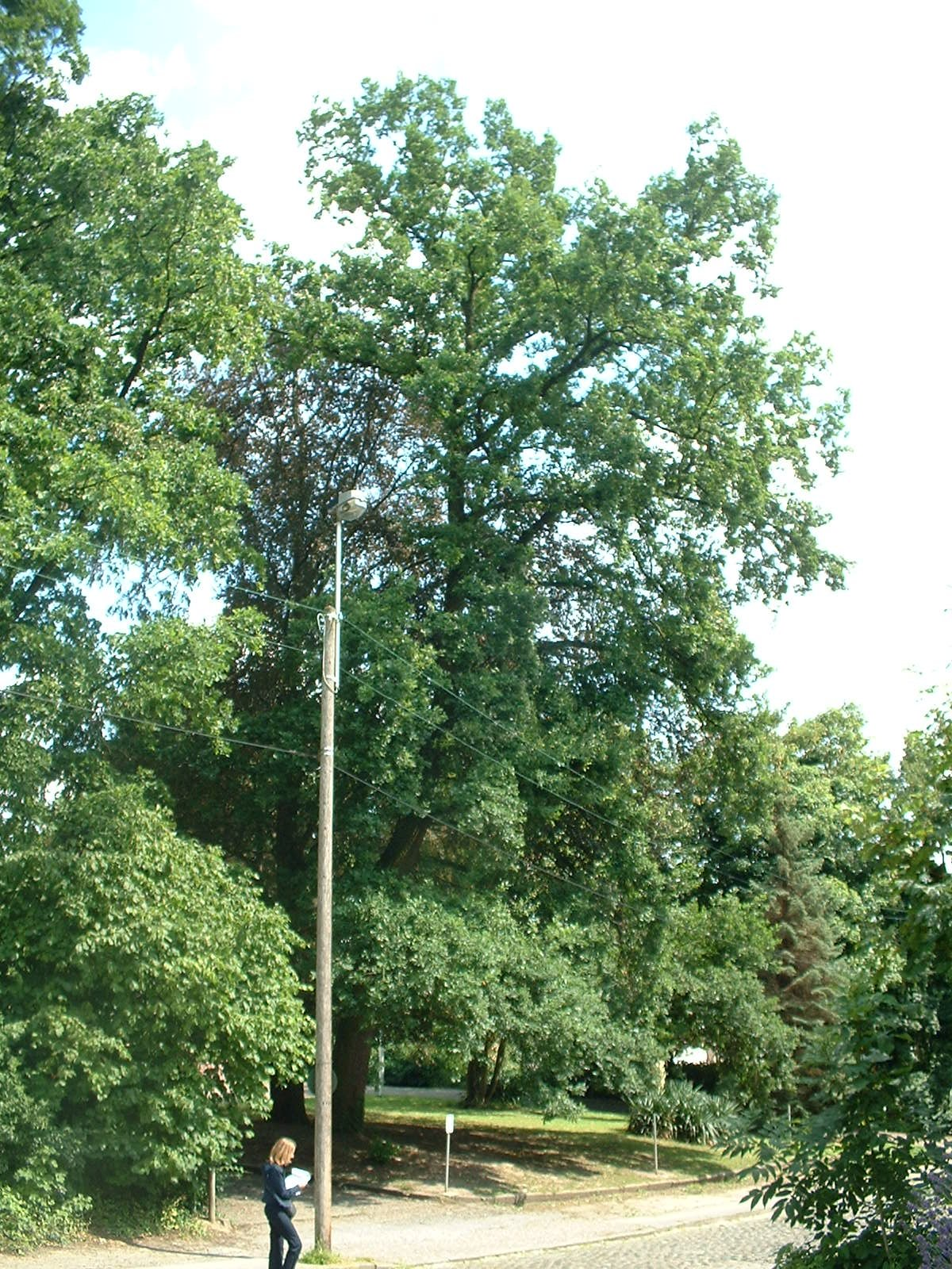 Chêne pédonculé – Molenbeek-Saint-Jean, Rue Paloke, 77 –  06 Juillet 2004