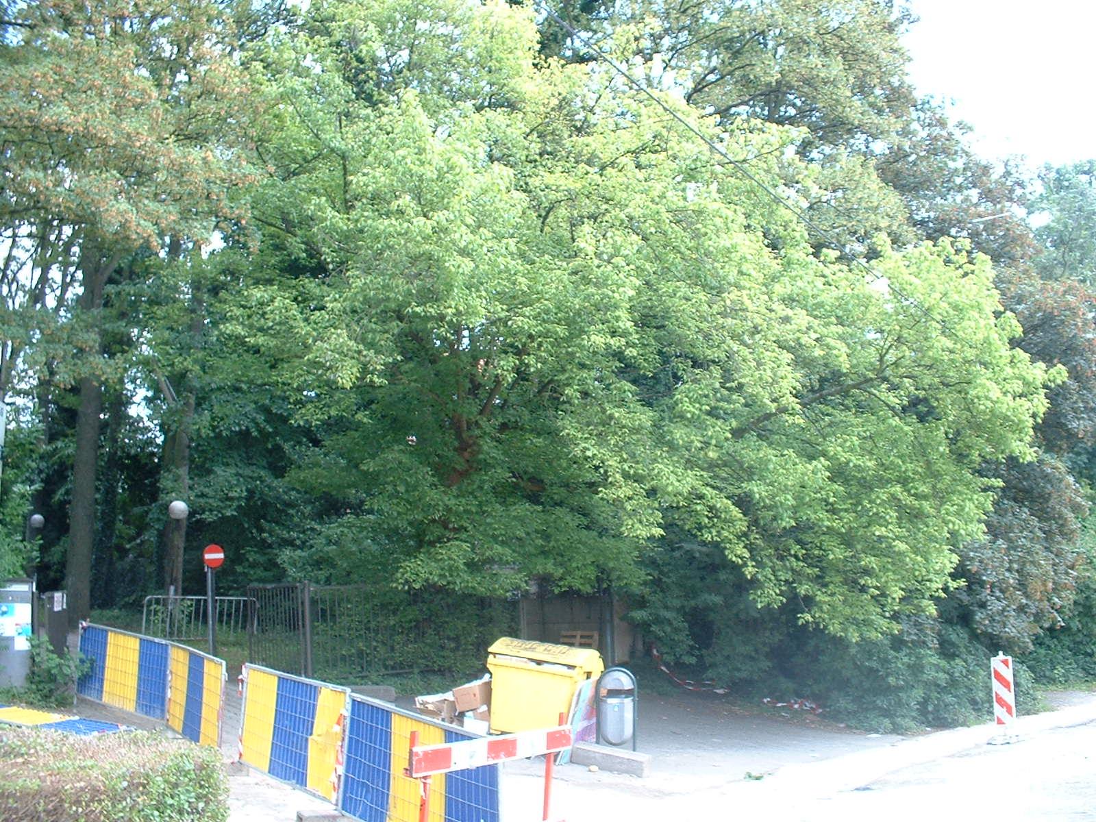 Erable à feuilles de frêne – Molenbeek-Saint-Jean, Rue Paloke, 79 –  06 Juillet 2004