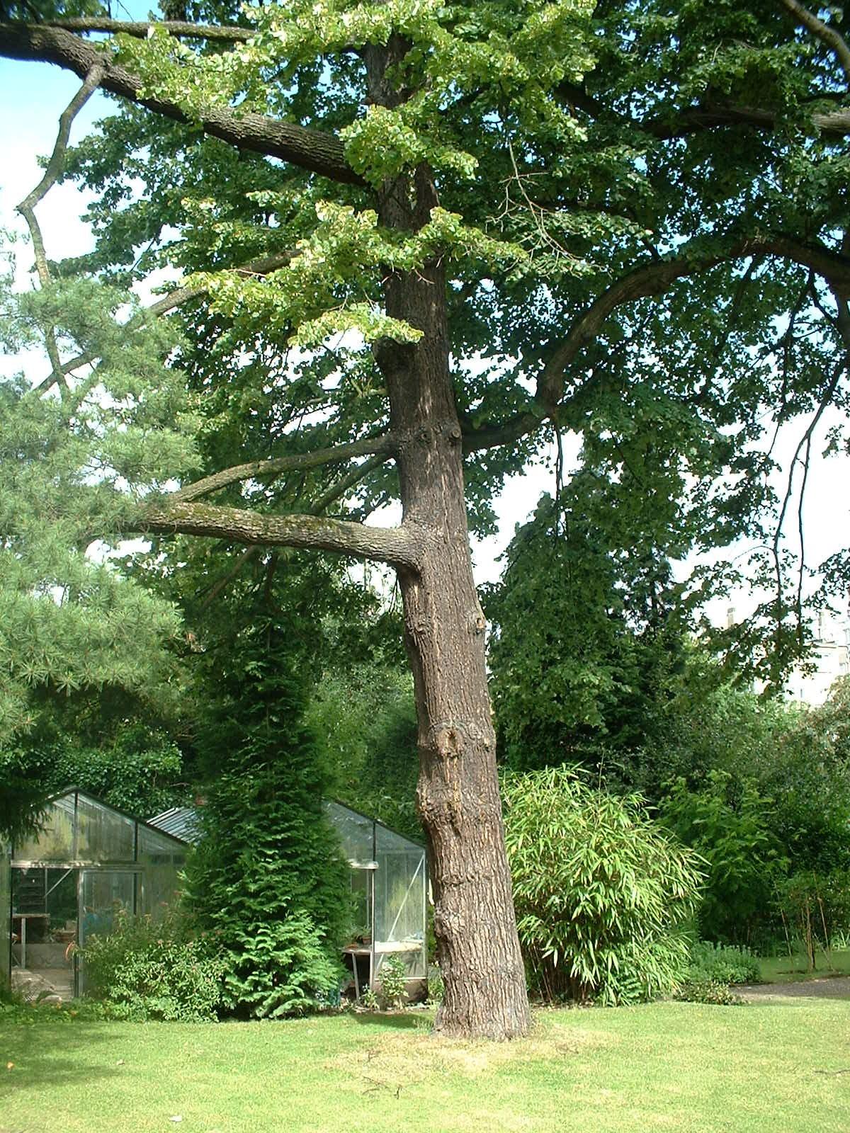Pinus sp,