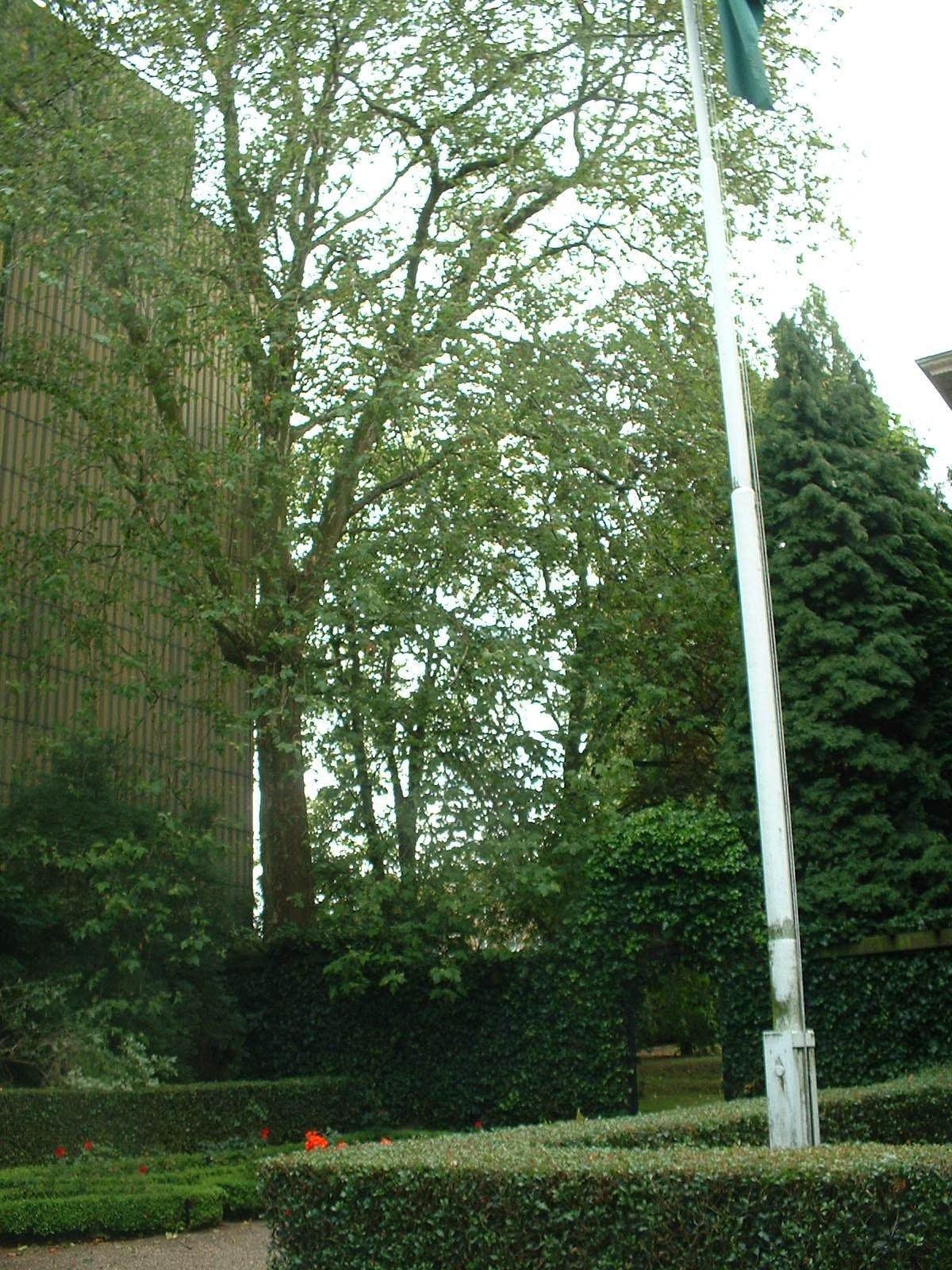 Platane à feuille d'érable – Woluwé-Saint-Pierre, Avenue de Tervueren, 245 –  08 Juillet 2004