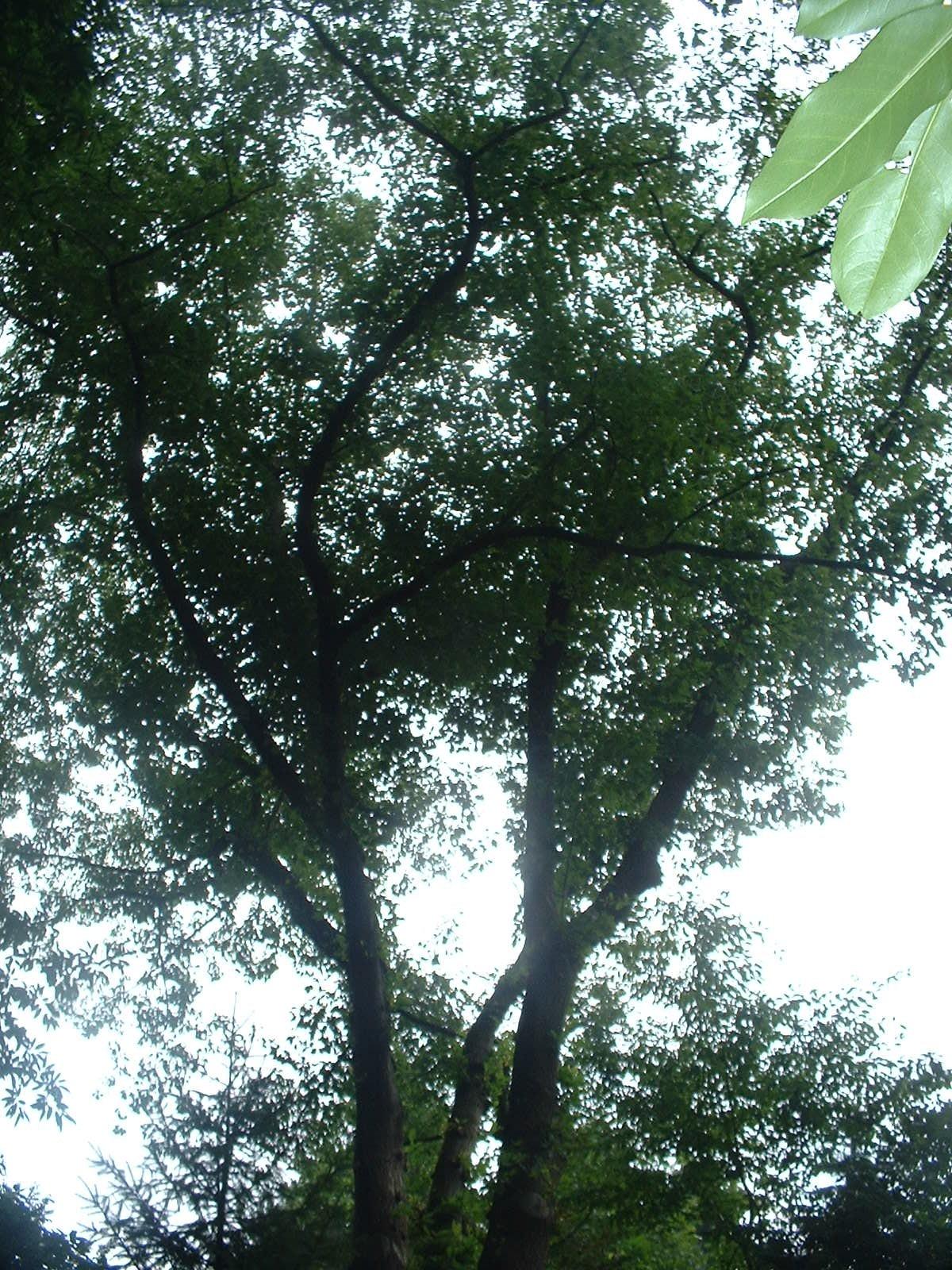 Chêne rouge d'Amérique – Auderghem, Avenue Jean Accent, 41 –  05 Août 2004