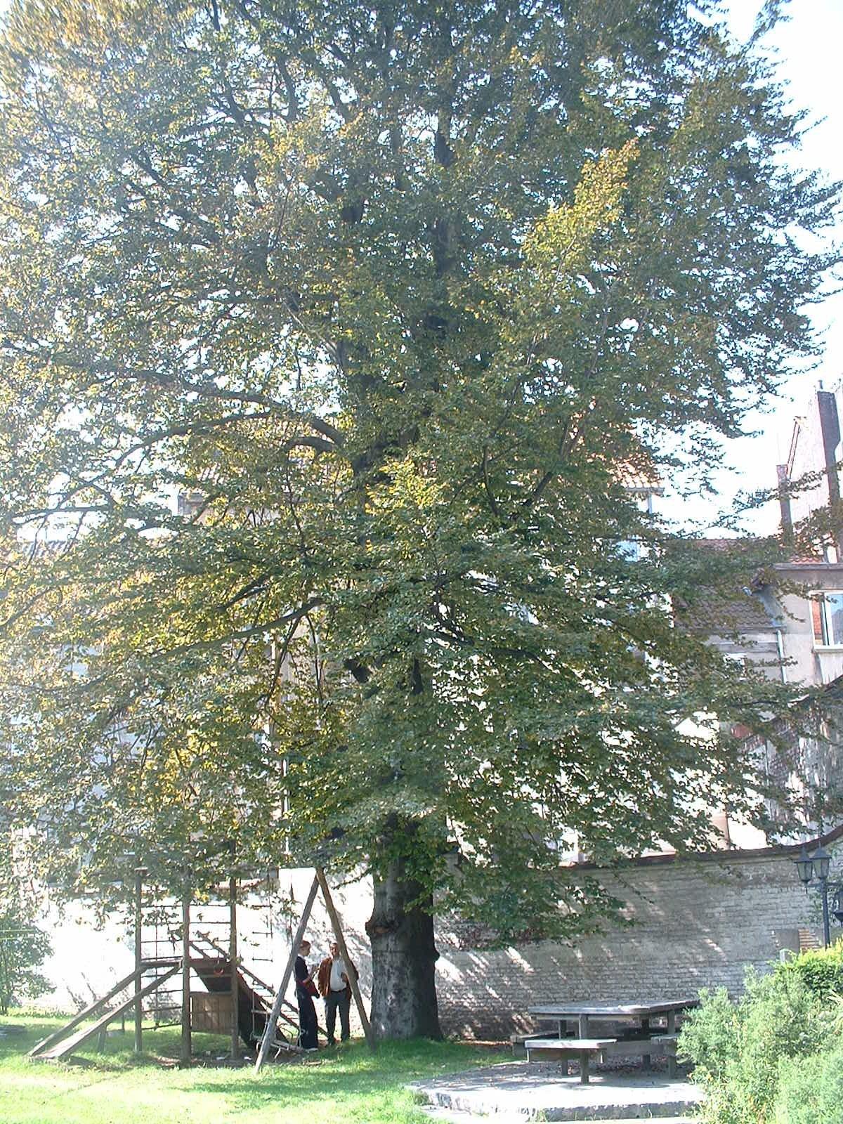 Hêtre pourpre – Molenbeek-Saint-Jean, Chaussée de Ninove, 194 –  03 Septembre 2004