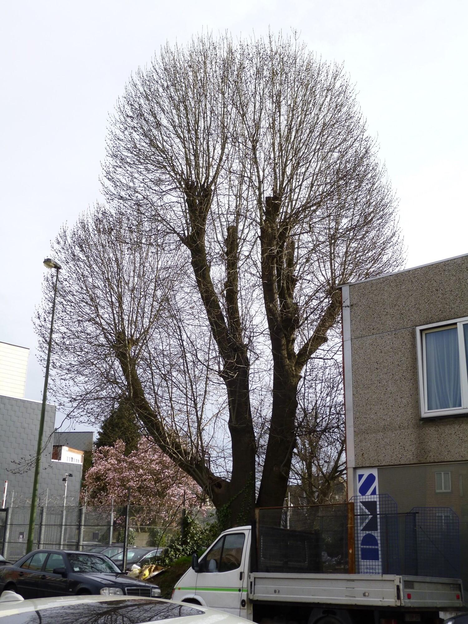 Frêne commun – Molenbeek-Saint-Jean, Rue de l'Escaut –  16 Avril 2013
