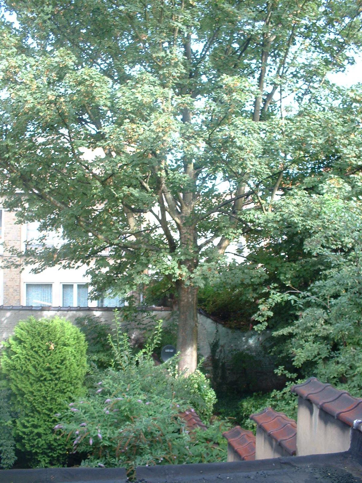 Erable sycomore – Molenbeek-Saint-Jean, Rue de Birmingham, 31 –  17 Août 2004