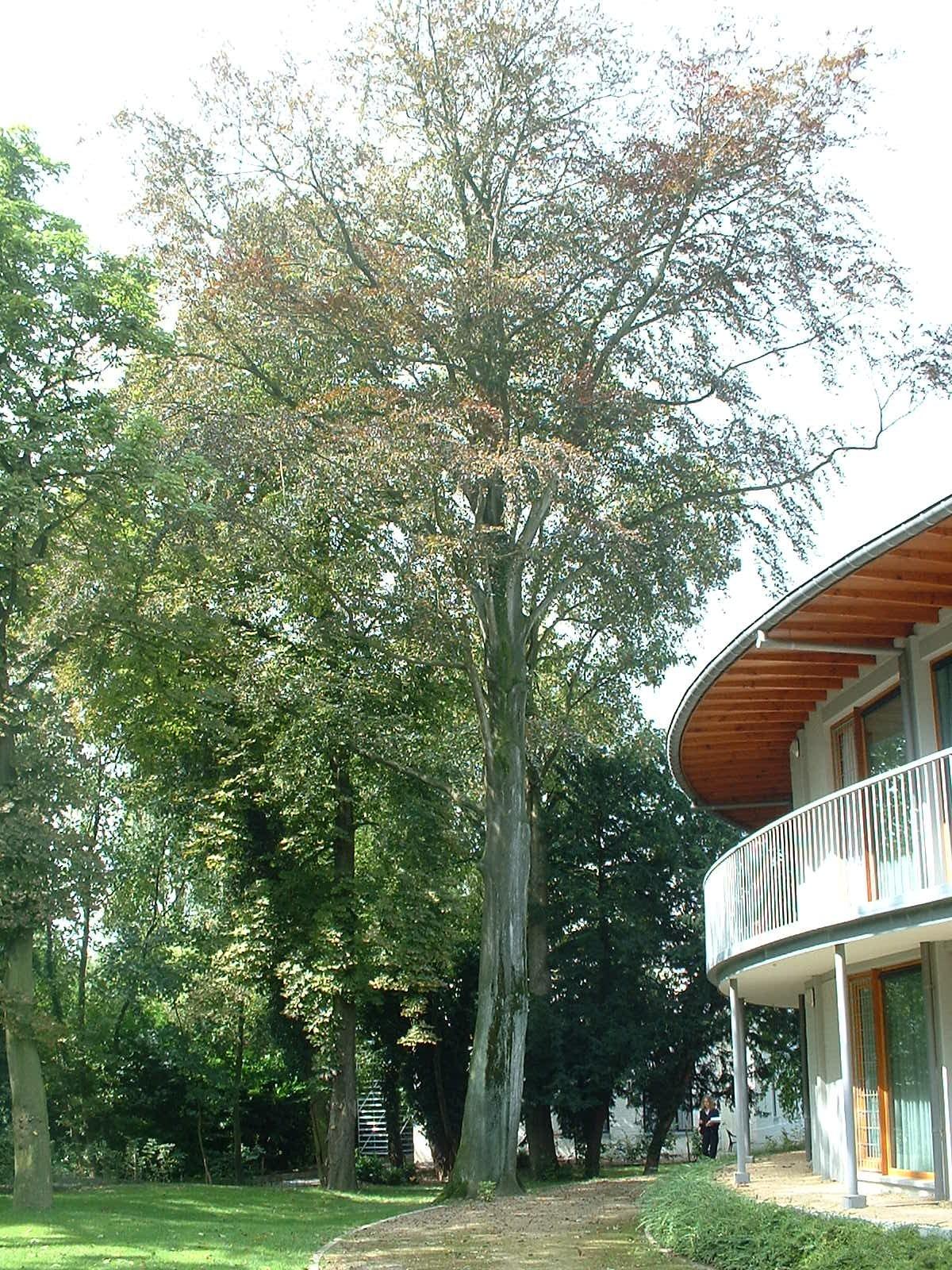 Hêtre pourpre – Jette, Parc de la clinique Sans Souci, Avenue de l'Exposition Universelle, 218 –  20 Août 2004