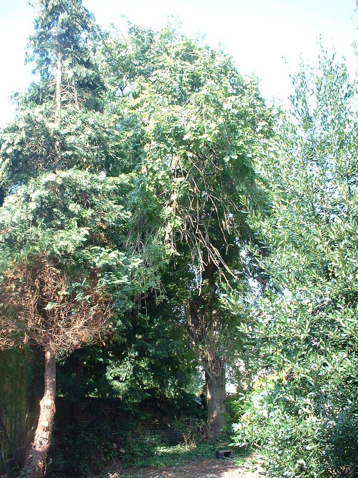 Frêne pleureur – Uccle, Avenue Brugmann, 297a –  01 Septembre 2004