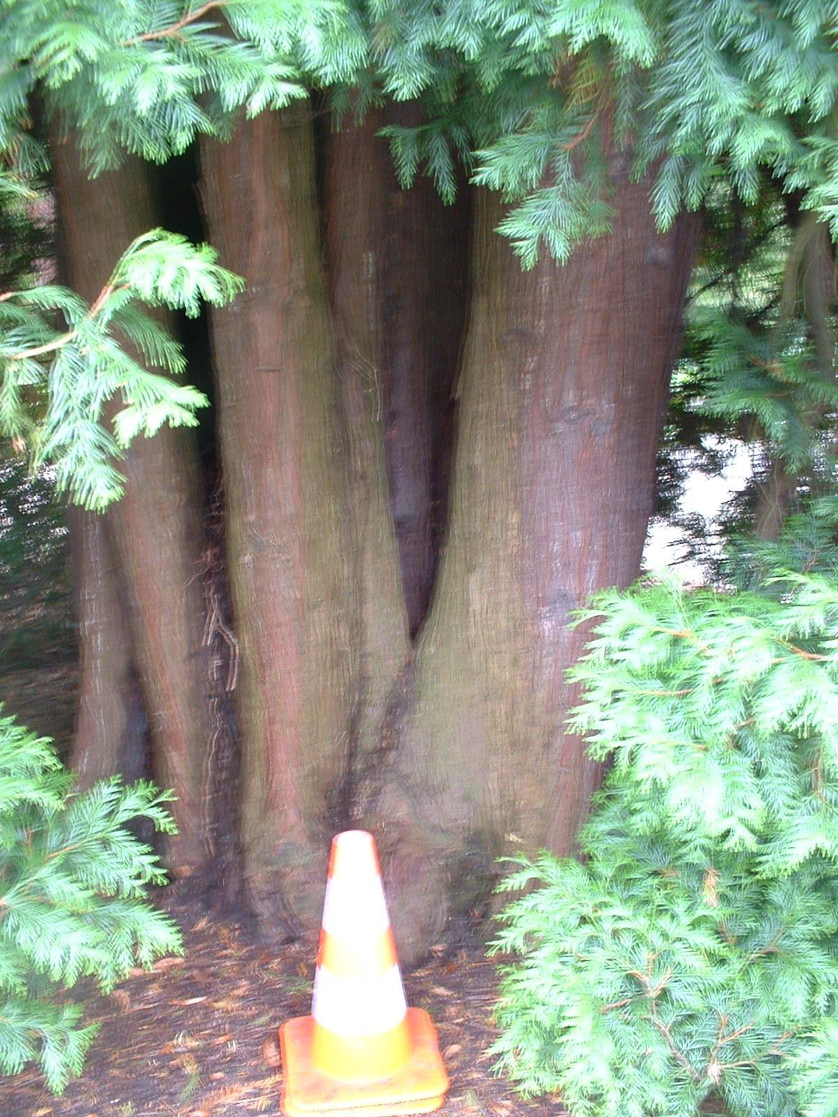 Thuja orientalis – Uccle, Propriété Fond'Roy, Avenue du Prince d'Orange, 49-51 –  27 Septembre 2004