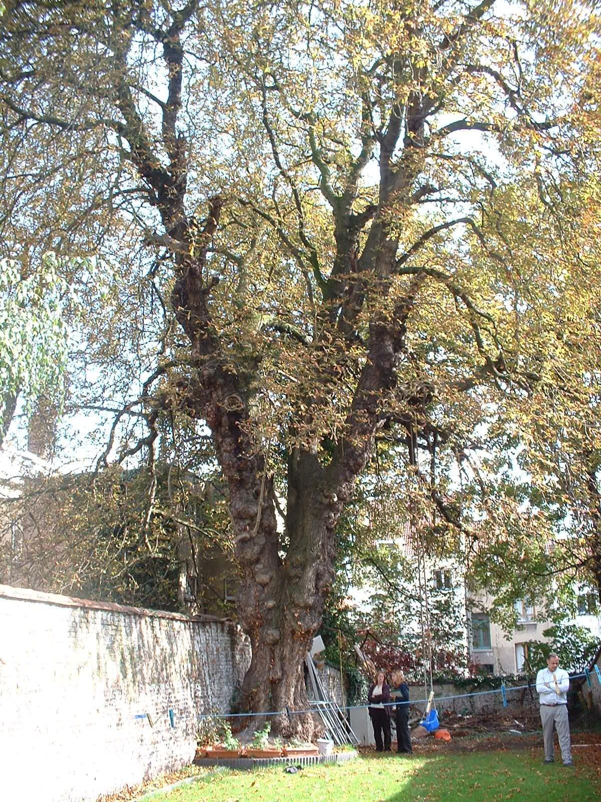 Marronnier commun – Schaerbeek, Chaussée de Haecht, 278 –  06 Octobre 2004