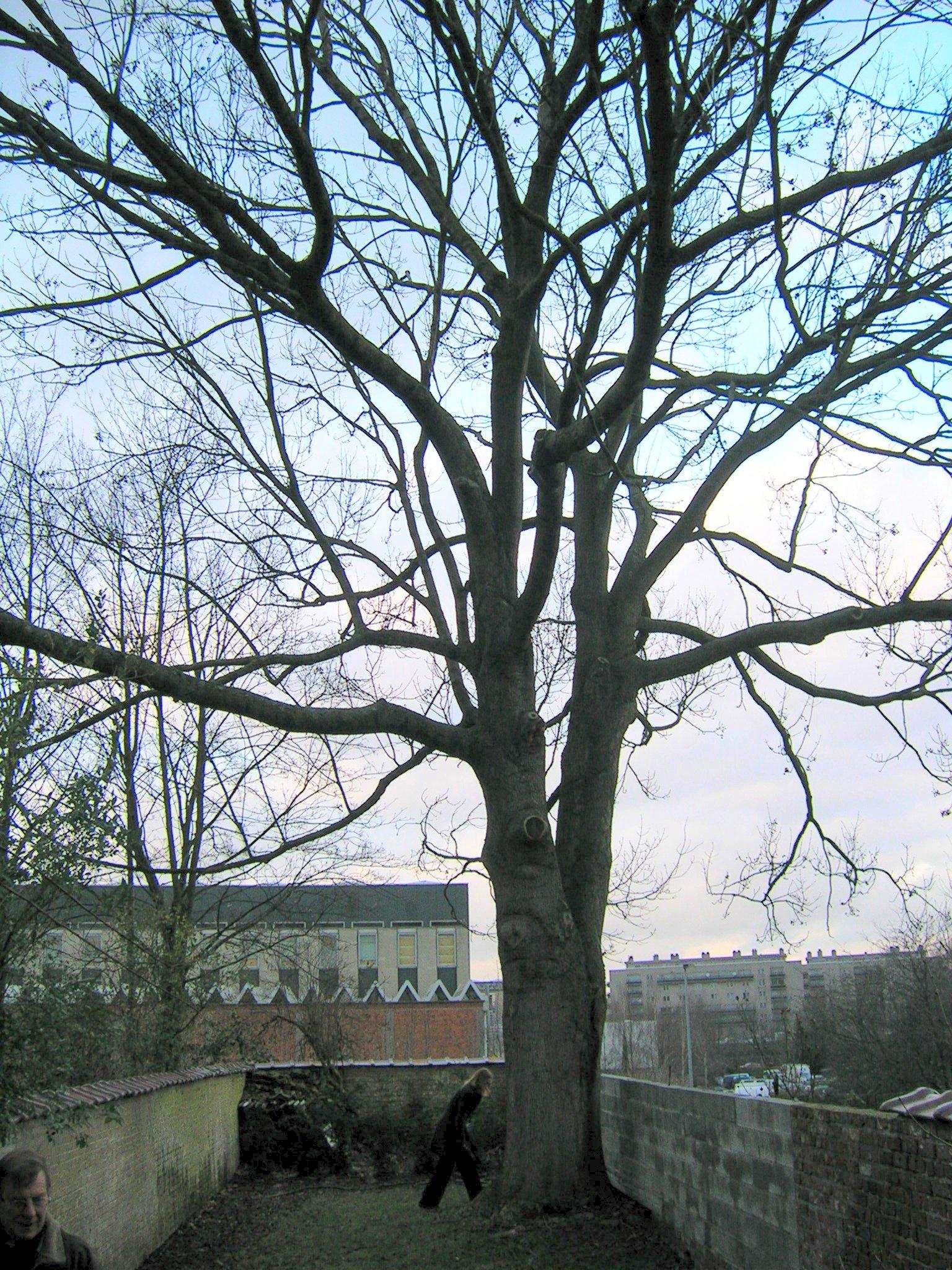 Gewone es – Schaarbeek, Kolonel Bourgstraat, 58 –  21 Januari 2005