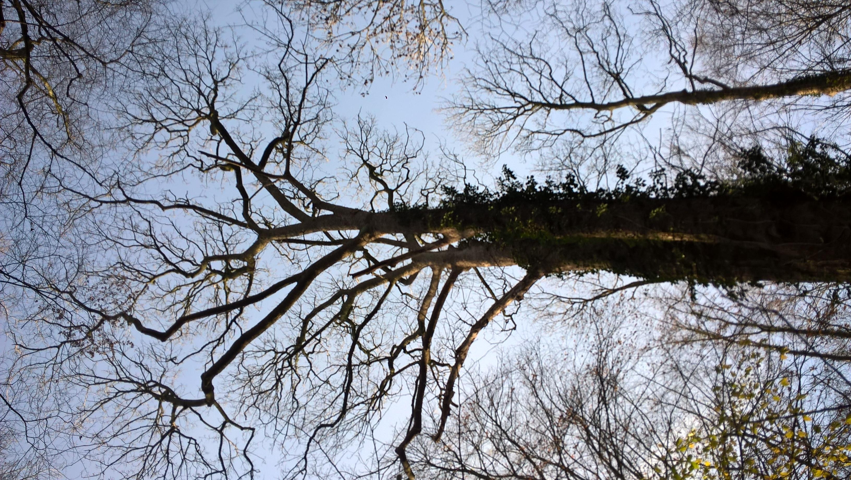 Erable sycomore – Bruxelles, Bois de la Cambre –  10 Décembre 2020