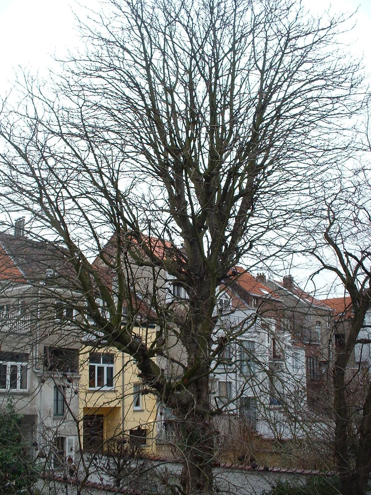 Marronnier commun – Bruxelles, Rue de Pavie, 29 –  14 Mars 2005