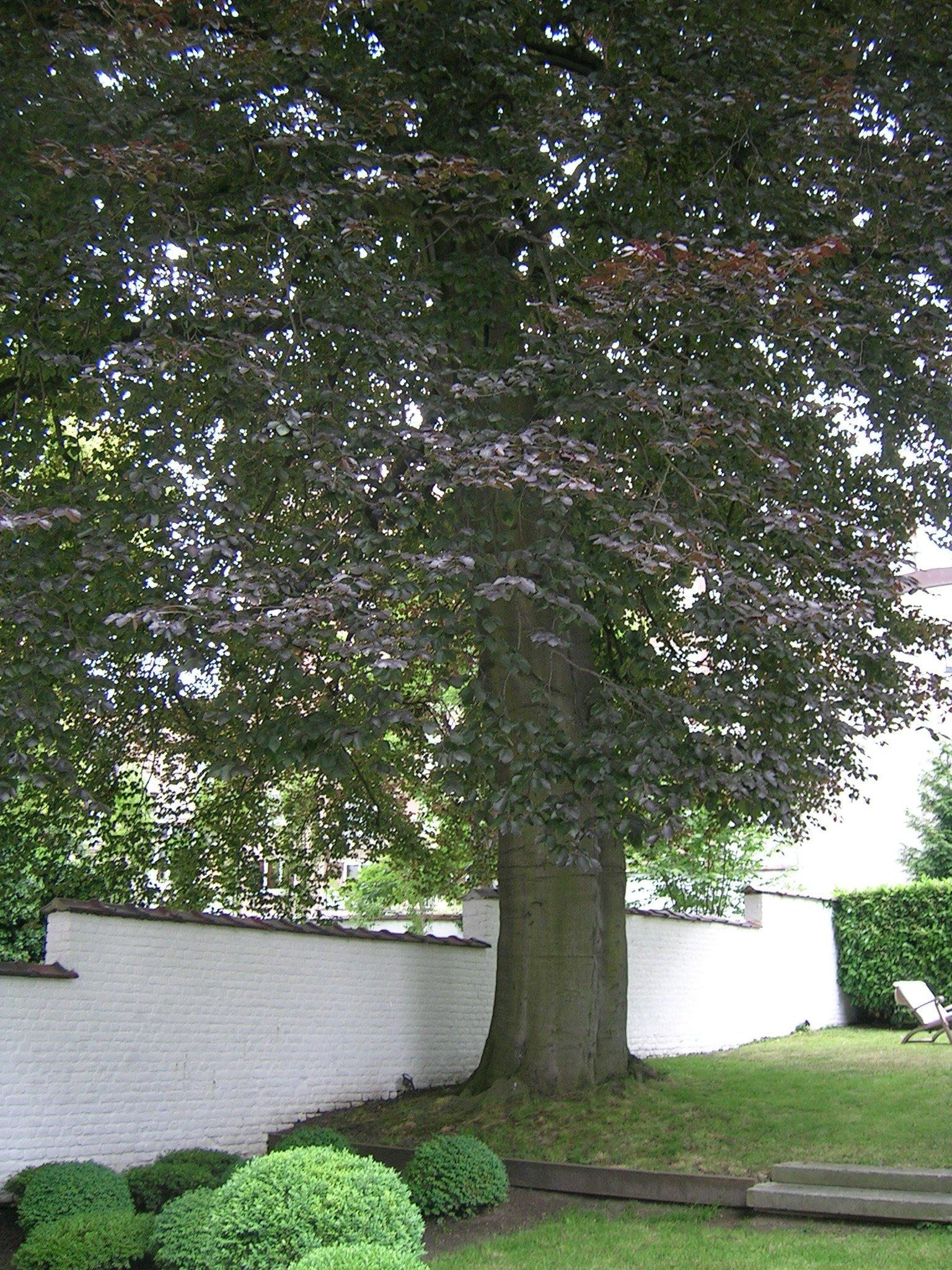 Hêtre pourpre – Saint-Gilles, Rue Saint-Bernard, 58 –  15 Juin 2005