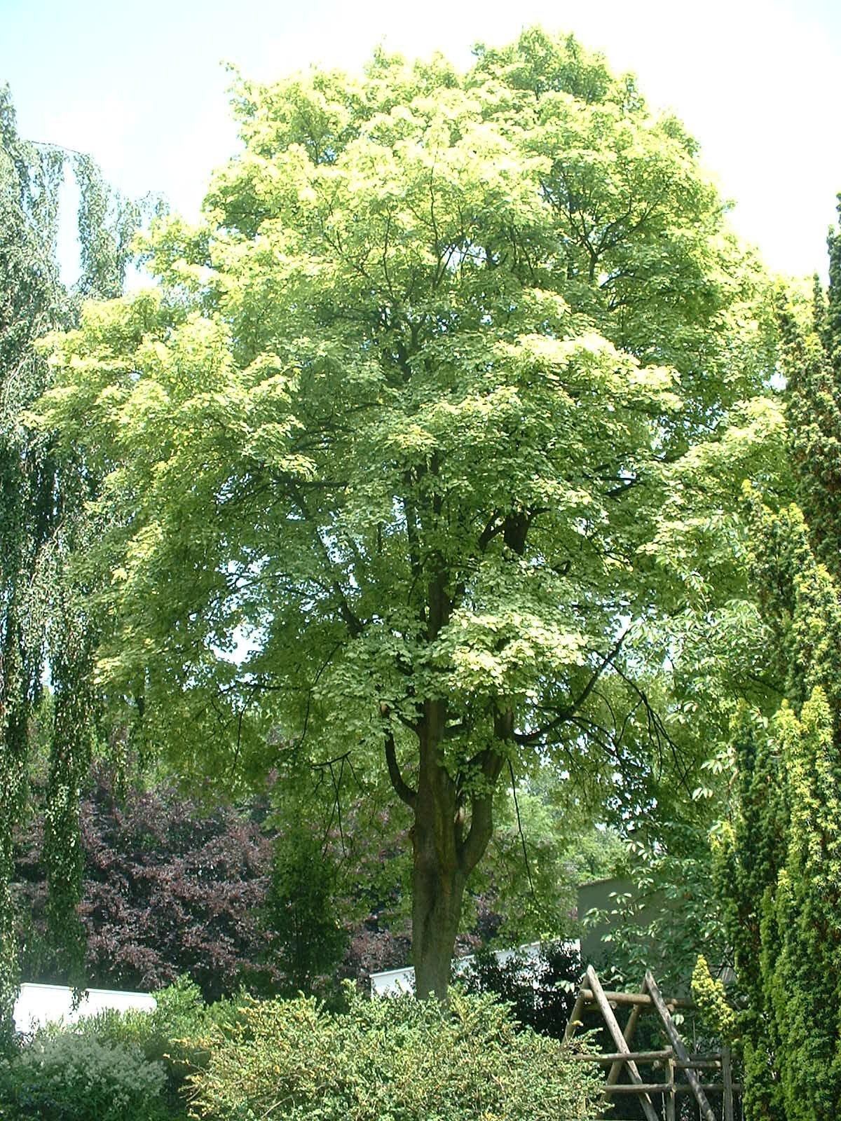 Acer pseudoplatanus f. aureovariegatum – Brussel, Bospleinlaan, 3 –  21 Juni 2005