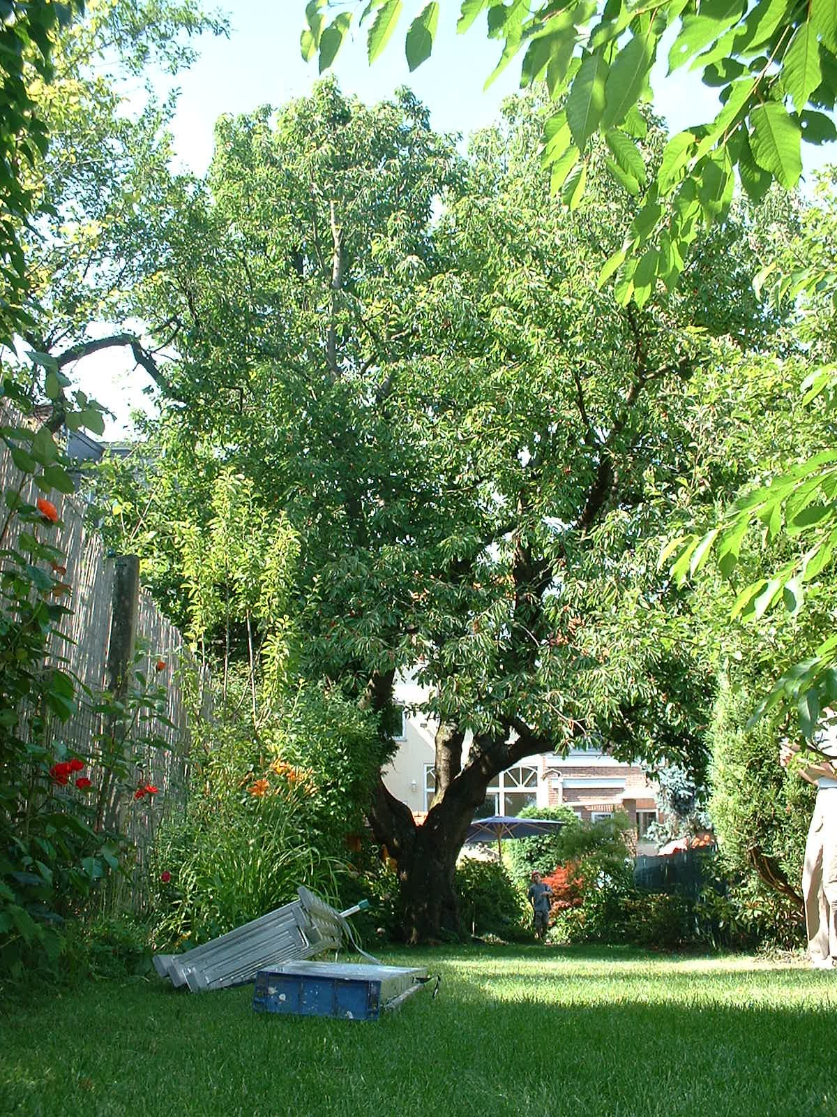 Merisier – Auderghem, Rue des Trois Ponts, 48 –  22 Juin 2005