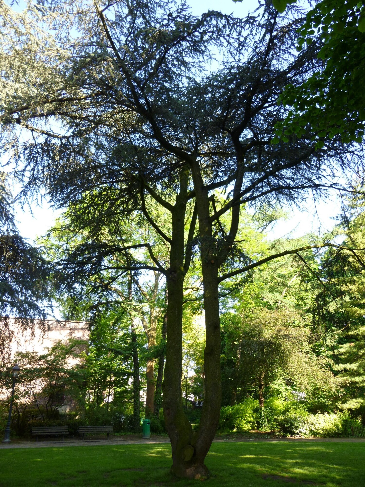 Cèdre bleu de l'Atlas – Jette, Parc Garcet, parc –  27 Mai 2013
