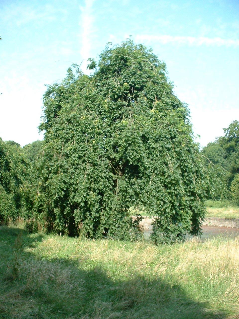 Frêne pleureur – Jette, Parc Roi Baudouin phase 1, parc –  15 Juillet 2005