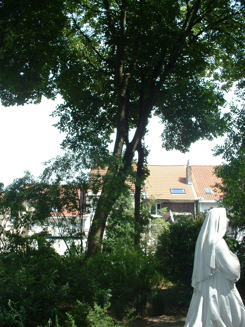 Acer pseudoplatanus f. aureovariegatum – Jette, Grotplein en openbare tuin, Leopold I straat –  19 Juli 2005