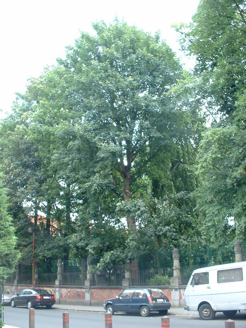Erable sycomore – Jette, Place de la Grotte et jardin public, Rue Léopold I –  19 Juillet 2005