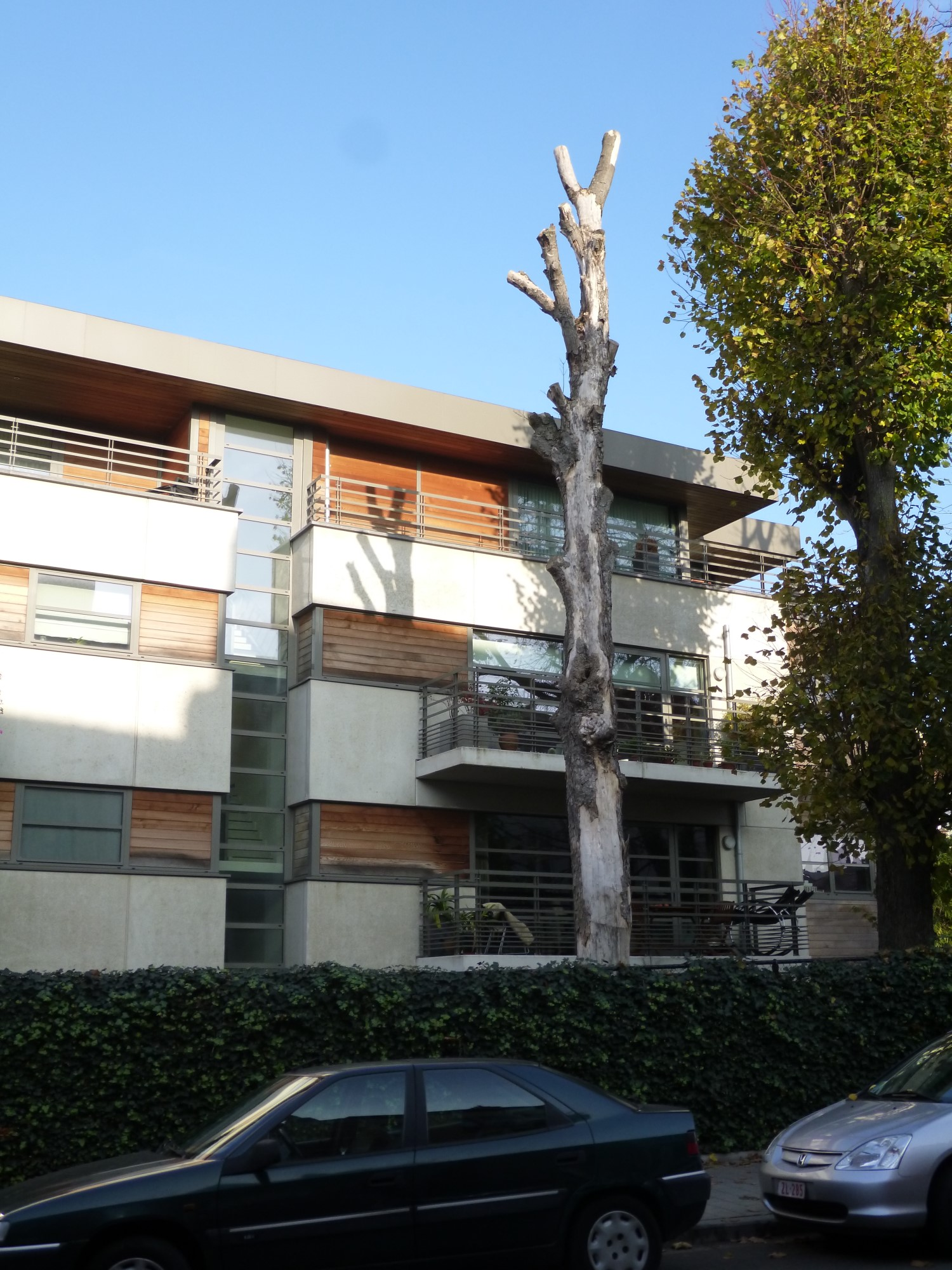 Acer pseudoplatanus f. aureovariegatum – Jette, Rue Henri Werrie –  21 Novembre 2014