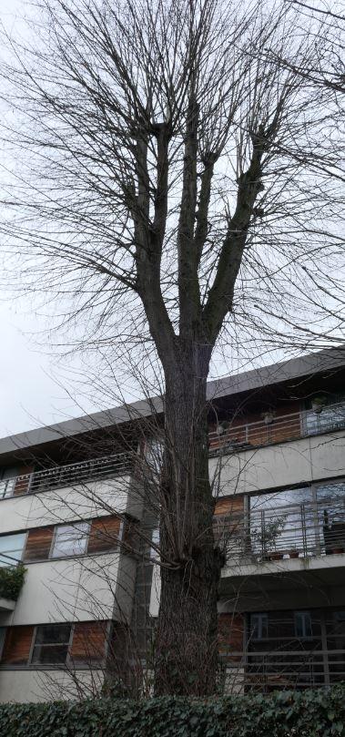 Tilleul à larges feuilles – Jette, Rue Henri Werrie –  17 Janvier 2020