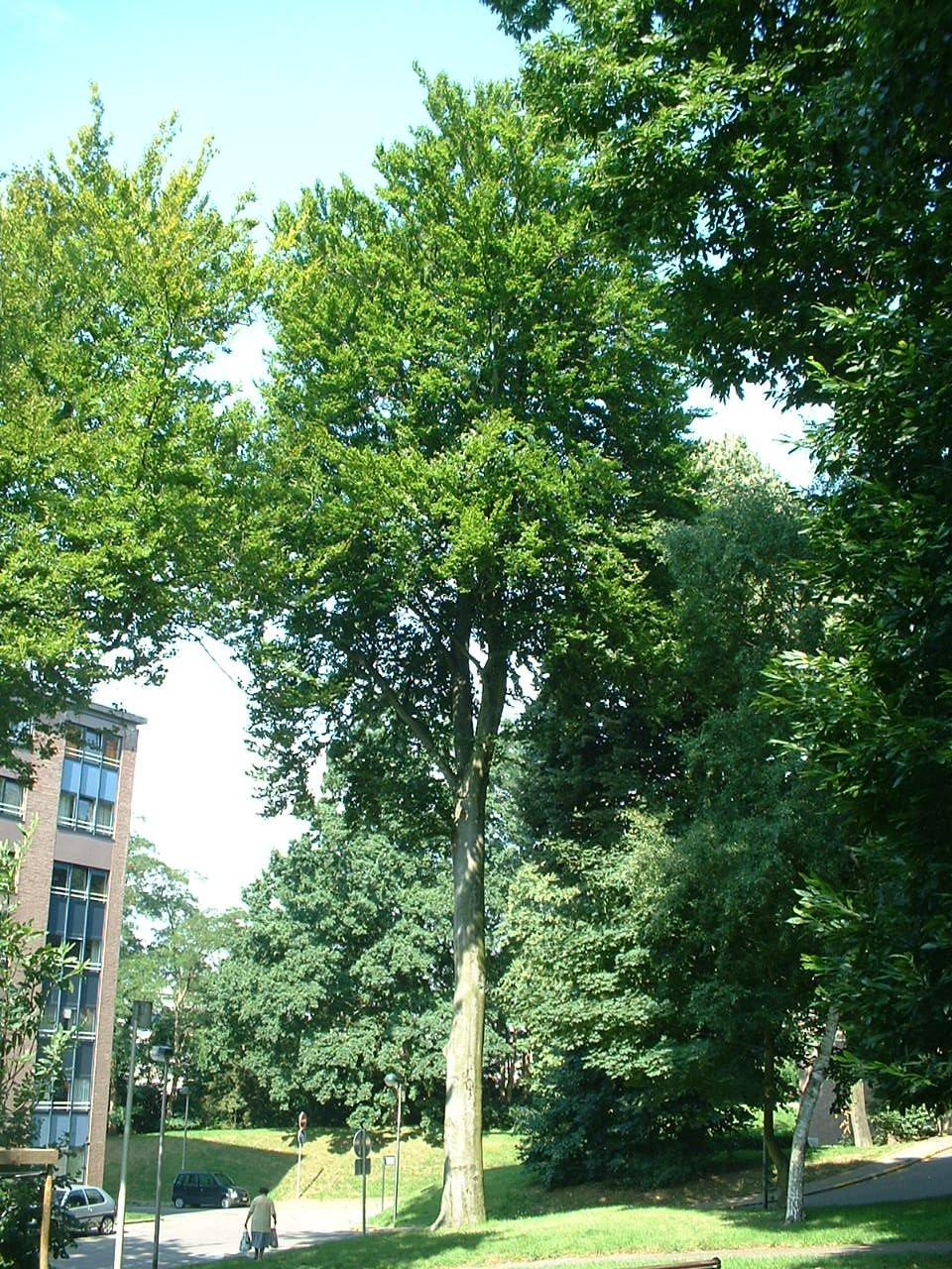 Hêtre d'Europe – Auderghem, Parc Lambin, Avenue Léopold Florent Lambin –  03 Août 2005
