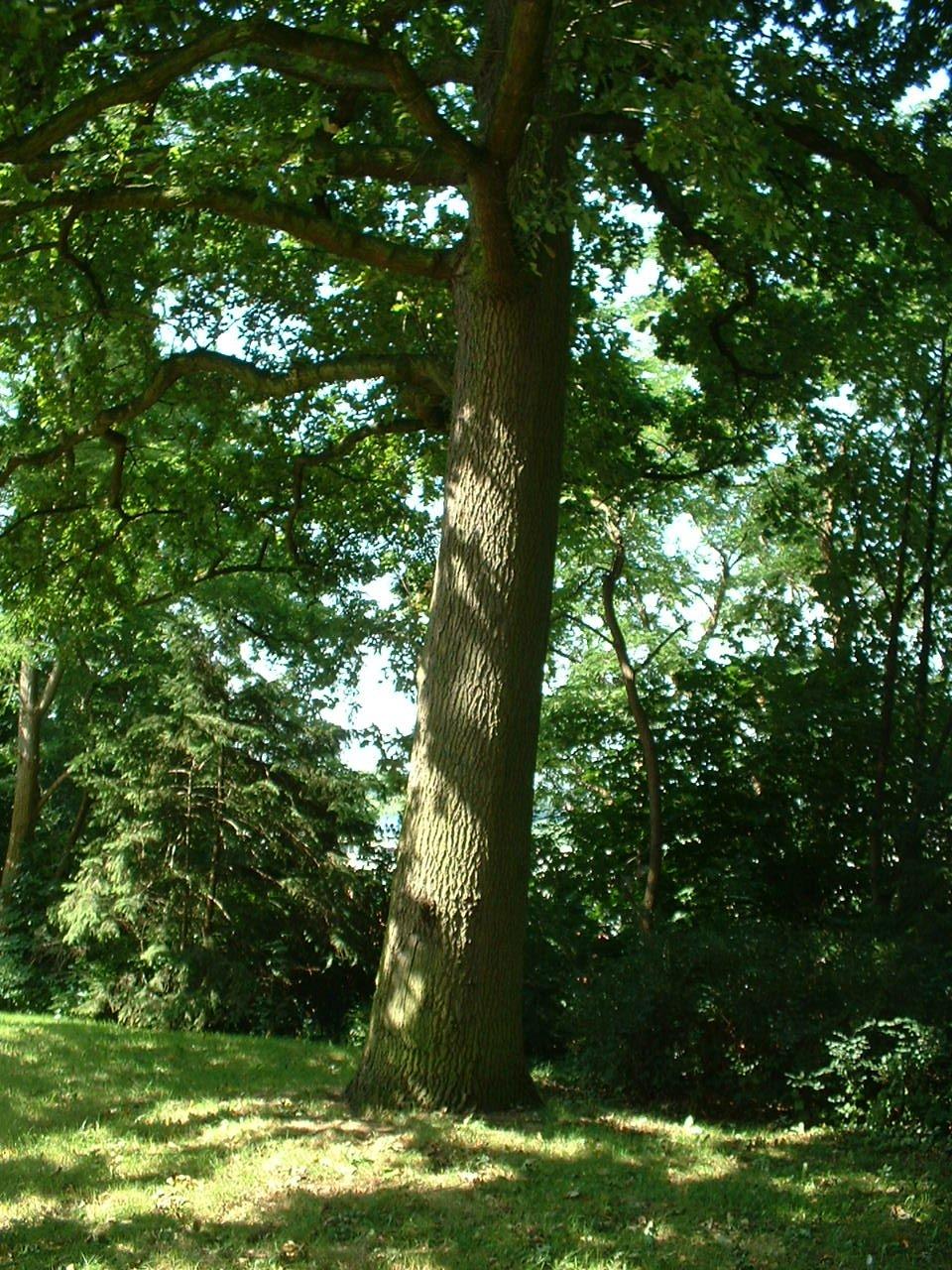 Chêne pédonculé – Auderghem, Parc Lambin, Avenue Léopold Florent Lambin –  03 Août 2005