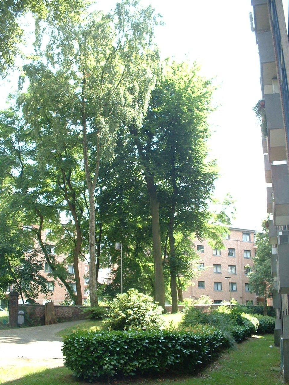 Hêtre pourpre – Auderghem, Parc Lambin, Avenue Léopold Florent Lambin –  03 Août 2005