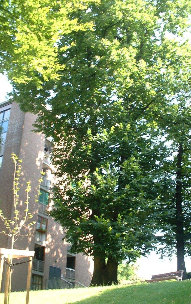 Châtaignier – Auderghem, Parc Lambin, Avenue Léopold Florent Lambin, 2 –  03 Août 2005