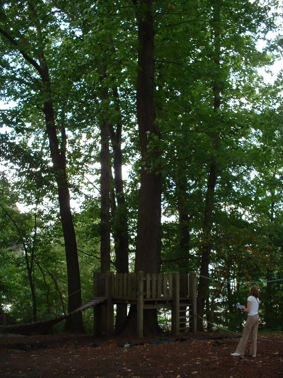 Chêne rouge d'Amérique – Auderghem, Parc Lambin, Avenue Léopold Florent Lambin –  03 Août 2005