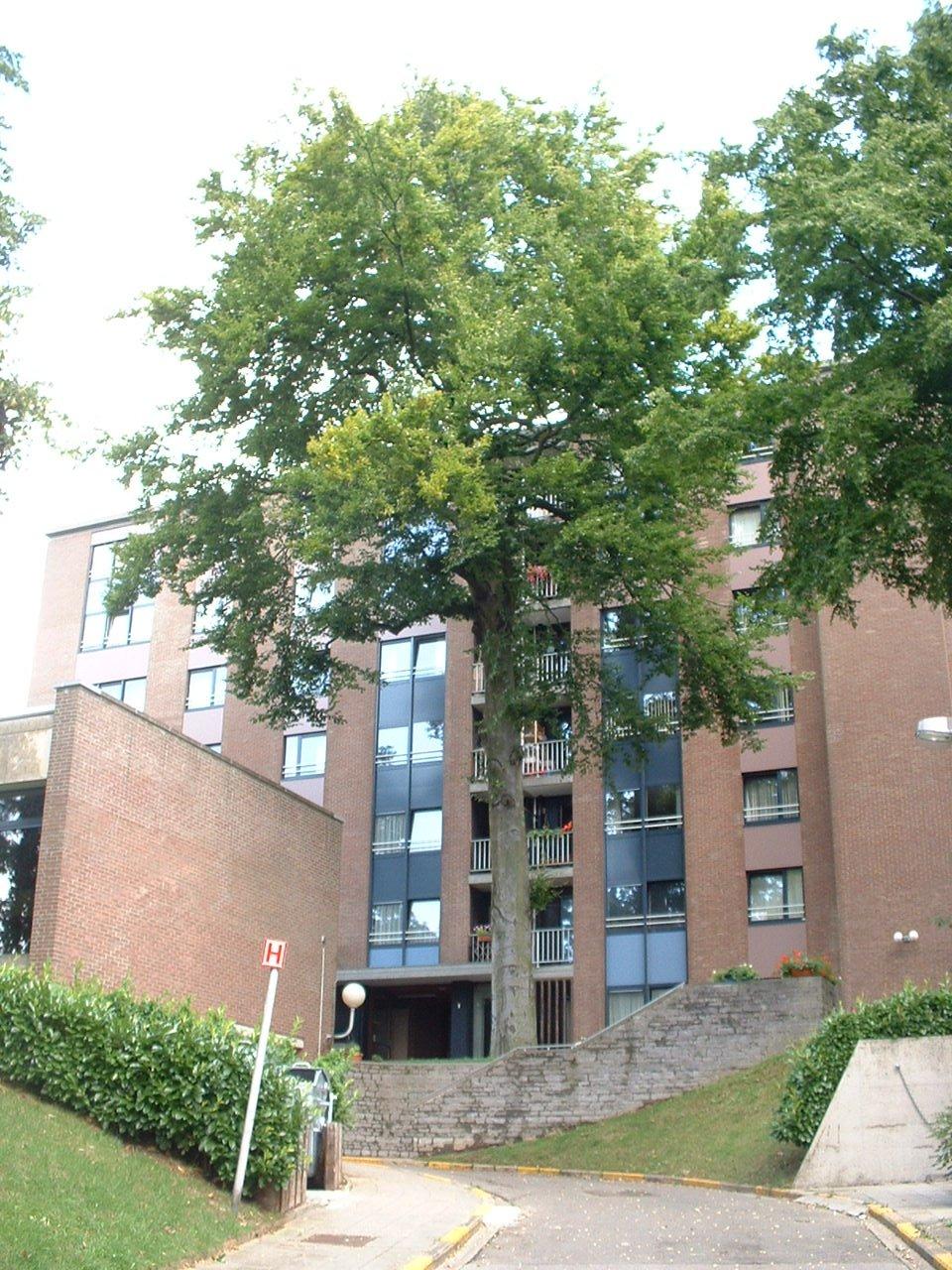 Hêtre d'Europe – Auderghem, Parc Lambin, Avenue Léopold Florent Lambin, 1 –  03 Août 2005