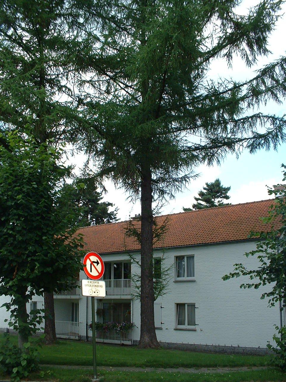 Europese lork – Oudergem, Emile Rotiersstraat –  02 August 2005