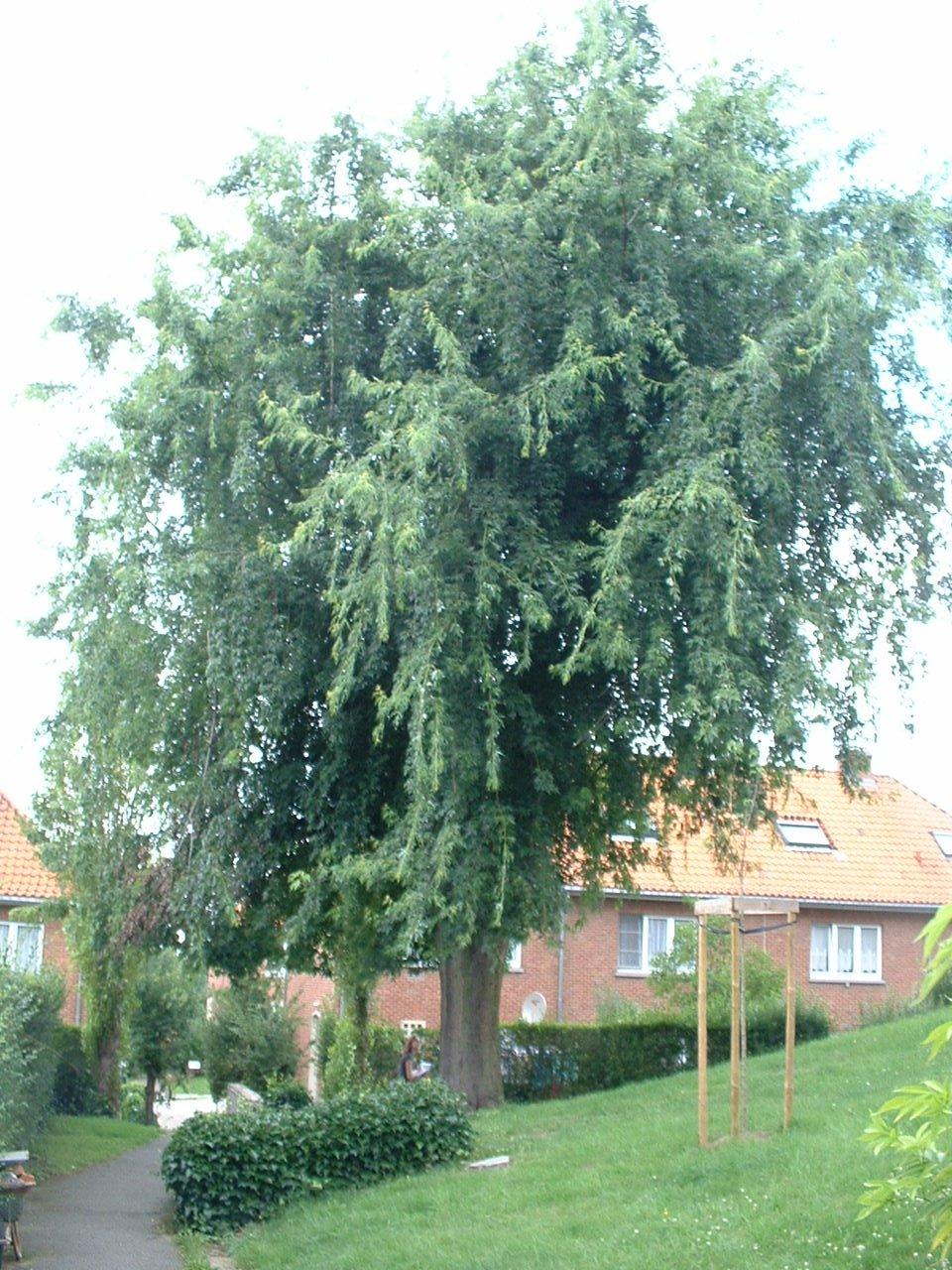 Acer saccharinum 'Aspleniifolium' – Oudergem, Emile Rotiersstraat –  02 August 2005