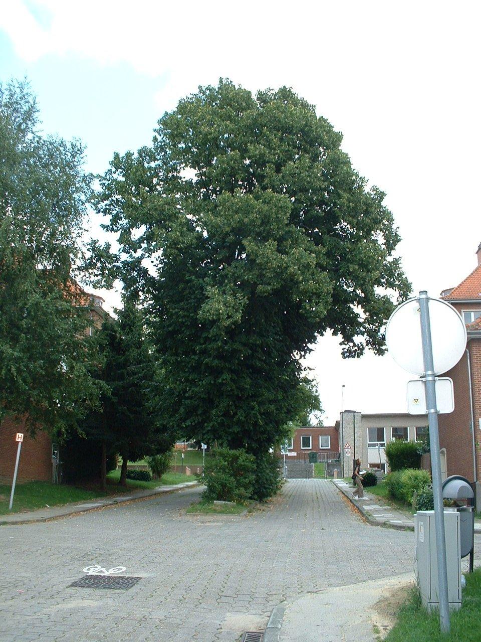 Tilleul à larges feuilles – Auderghem, Rue Franciscus Vandevelde –  02 Août 2005