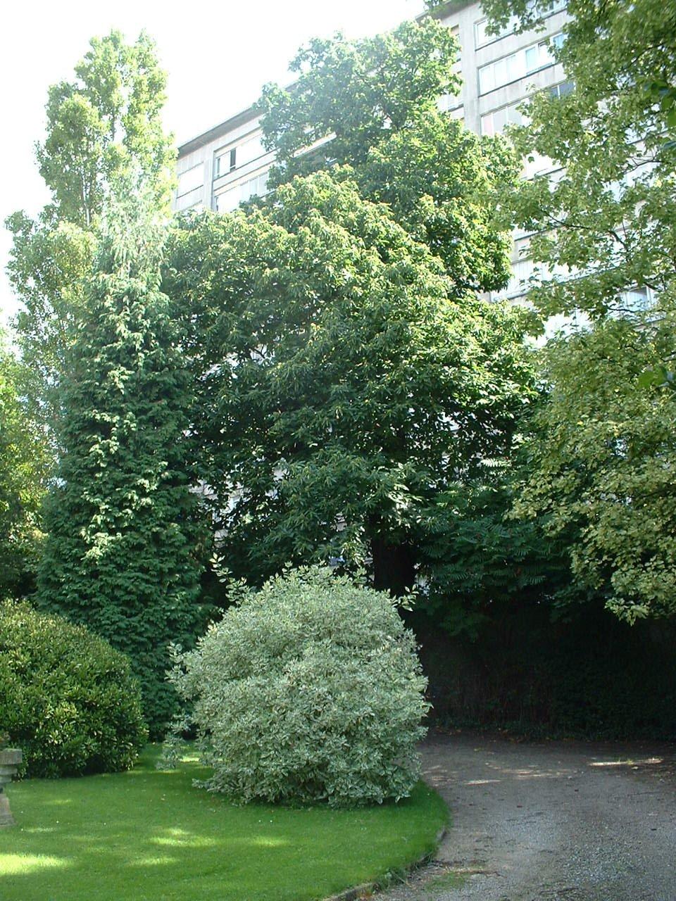 Châtaignier – Jette, Rue Gustave Gilson, 55 –  04 Août 2005