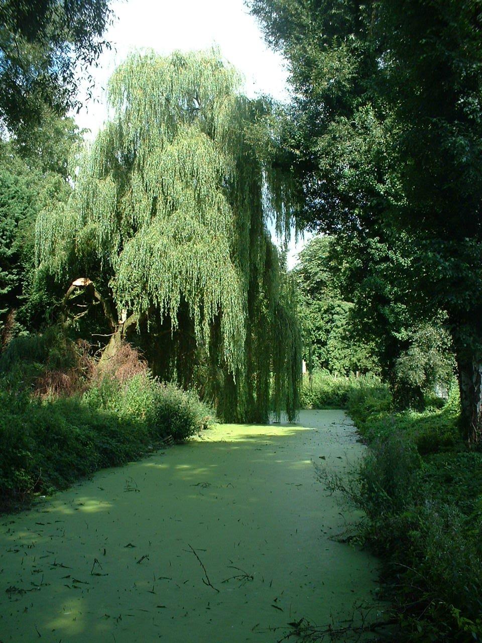 Saule pleureur – Auderghem, Etang de la rue de la Vignette, autre: site semi-naturel –  04 Août 2005