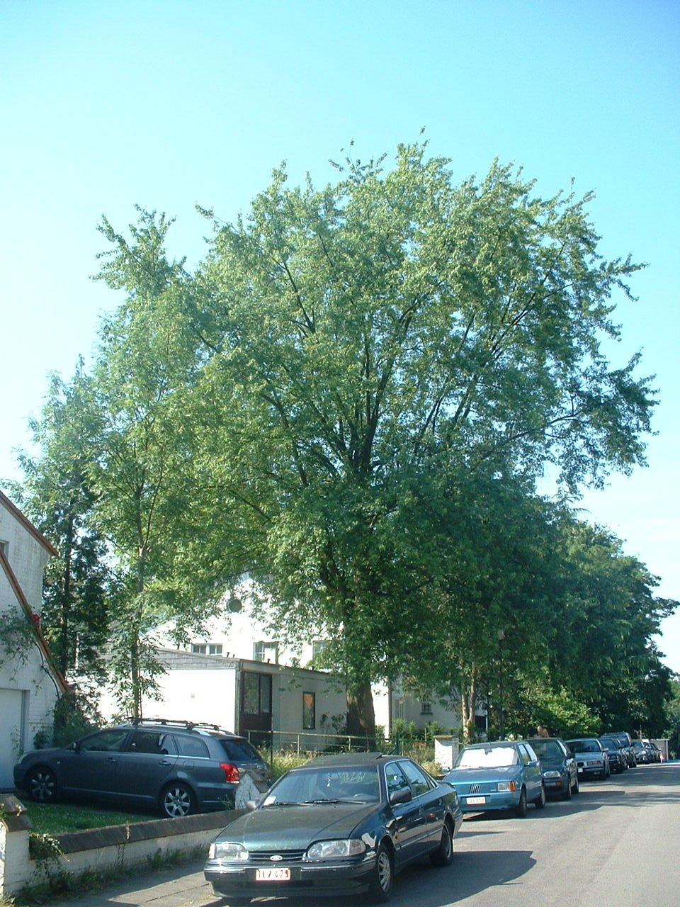Acer saccharinum var. laciniatum – Oudergem, Louis Vercauterenlaan, 12 –  04 Juli 2006