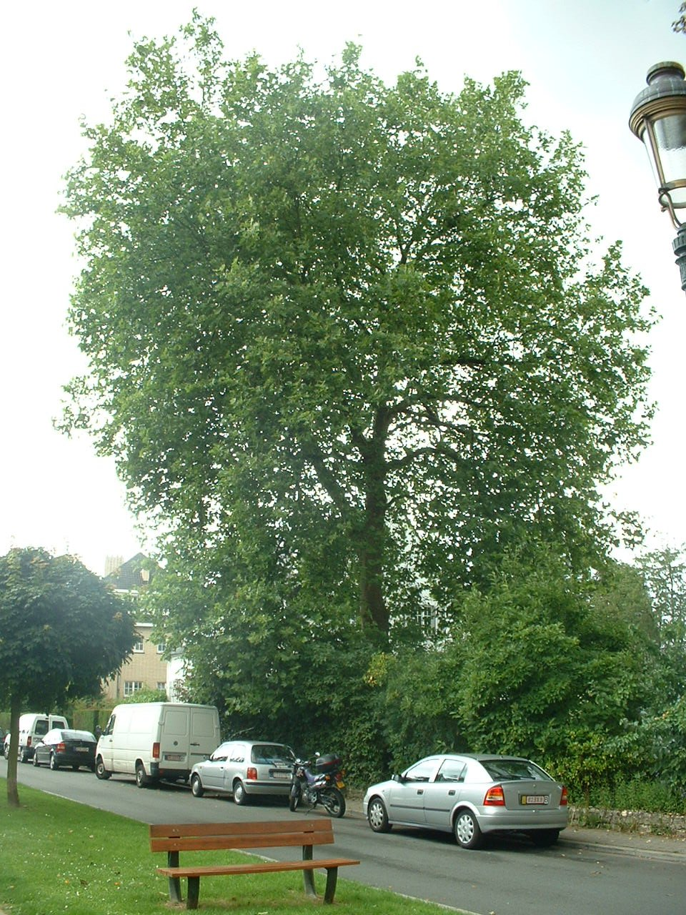 Platane à feuille d'érable – Auderghem, Avenue Roger Hainaut, 16 –  08 Août 2005