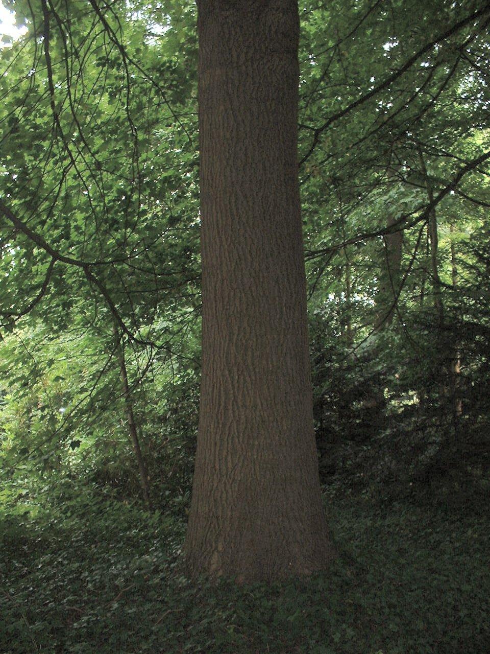 Frêne commun – Uccle, Parc Cherridreux, parc privé, 144D –  16 Août 2005